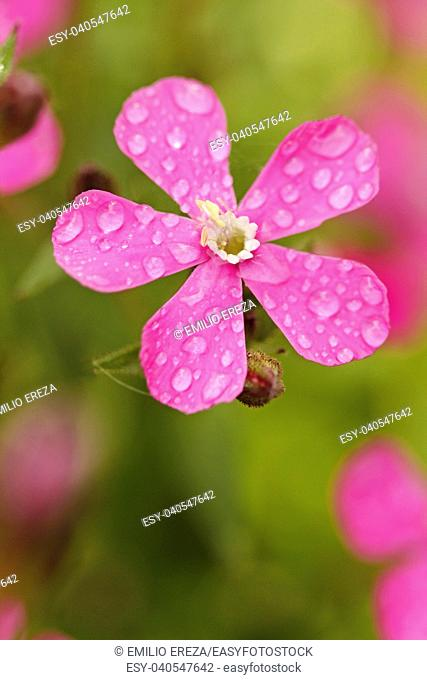 Droplets on red campion flower