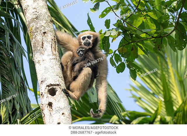 South east Asia, India,Tripura state,Gumti wildlife sanctuary,Western hoolock gibbon (Hoolock hoolock), adult female with baby