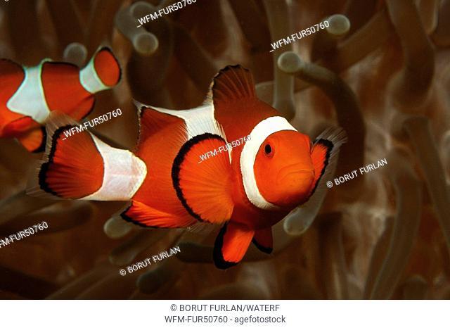 Clown Anemonefish, Amphiprion ocellaris, Alor, Lesser Sunda Islands, Indo-Pacific, Indonesia