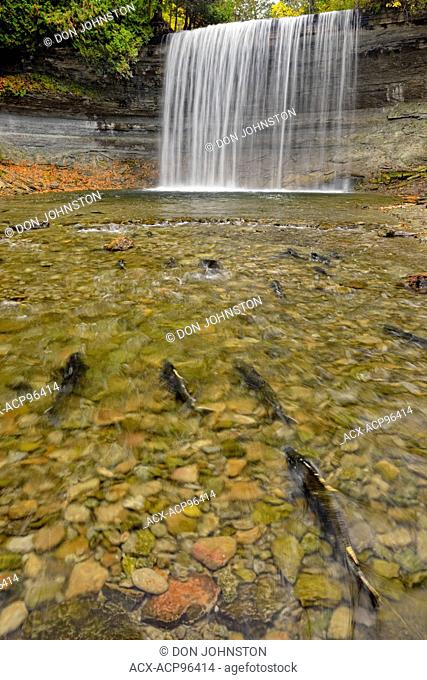 Spawning Salmon trout at Bridal Veil Falls in autumn, Kagawong, Manitoulin Island, Ontario, Canada