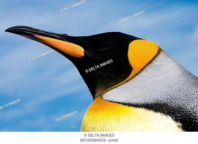 Portrait of King penguin (Aptenodytes patagonica), close-up, Port Stanley, Falkland Islands, South America