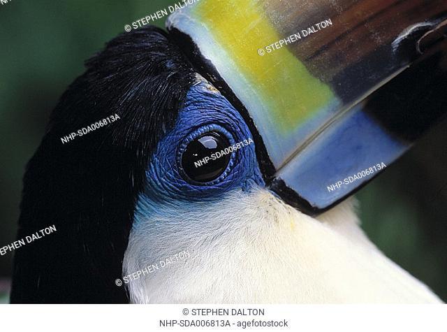 RED-BILLED TOUCAN Ramphastos tucanus eye & base of beak