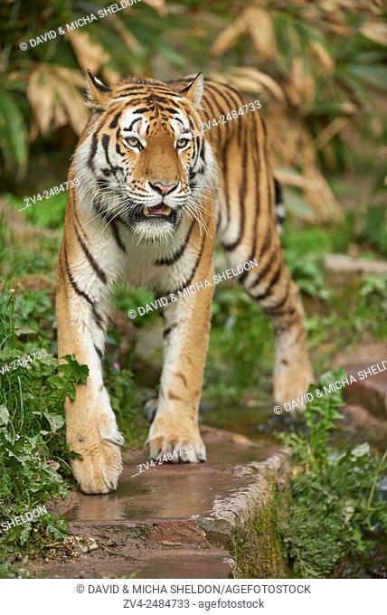 Close-up of a Siberian tiger (Panthera tigris altaica) in spring