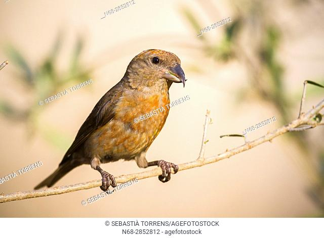Red crossbill (Loxia curvirostra) on a branch, Majorca, Balearic Islands, Spain