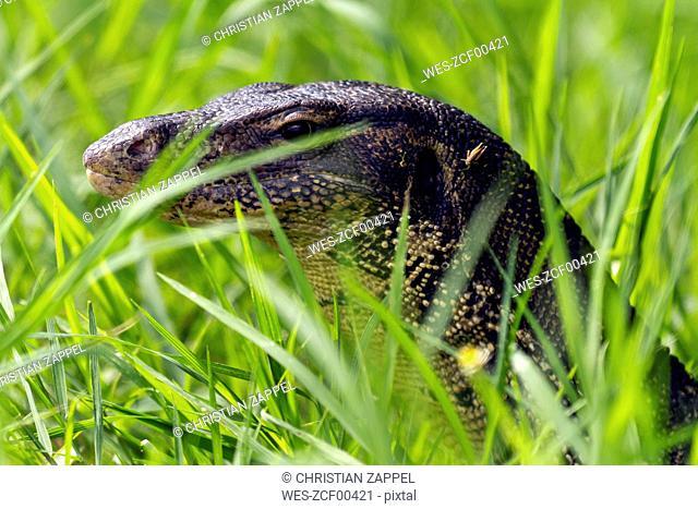 Thailand, portrait of monitor lizard behind grass