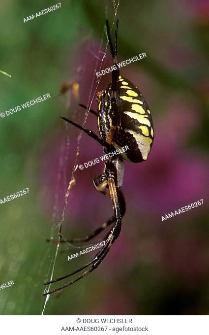 Argiope Spider, Black & Yellow (Argiope aurantia) female, Cape May, New Jersey