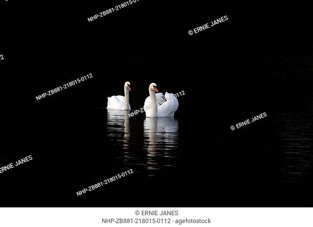 Mute Swans Cygnus olor swimming in woodland shadow Winter