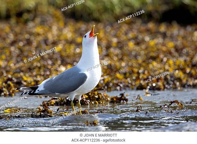 American herring gull or Smithsonian gull, Larus smithsonianus or Larus argentatus smithsonianus