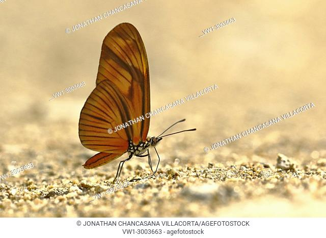 butterfly (Dryas julia) on soil moisture. Satipo, Perú