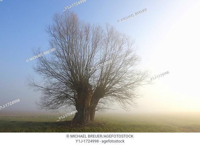 Pollard willow in morning mist, Hesse, Germany, Europe