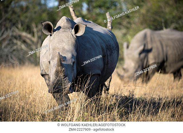 White rhinoceros or square-lipped rhinoceros (Ceratotherium simum) in the Sabi Sands Game Reserve adjacent to the Kruger National Park in South Africa are the...
