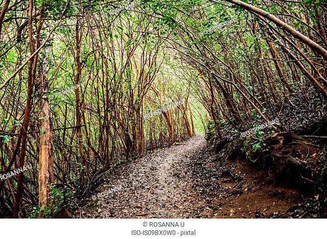 Dense forest on Kuilau Ridge Trail, Kauai, Hawaii