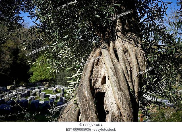 Elderly olive tree in Samothrace