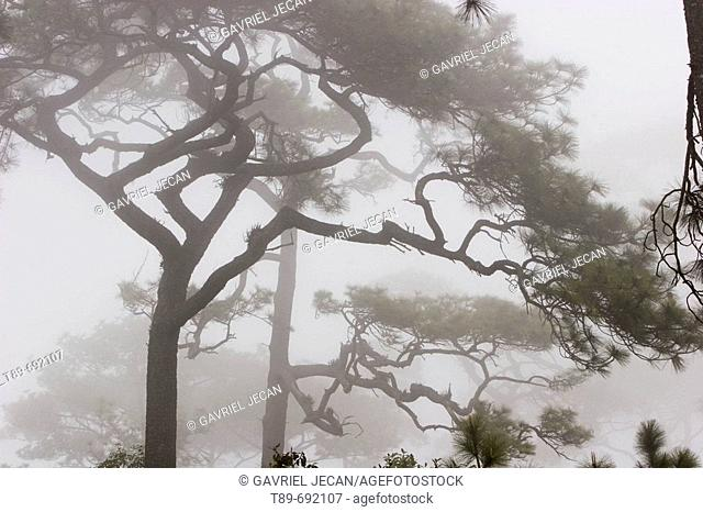 Pine trees in the morning mist