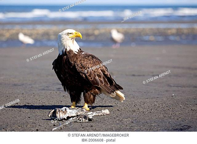 Bald Eagle (Haliaeetus leucocephalus) on the beach at Anchor Point on the Cook Inlet, Kenai Peninsula, Alaska, USA