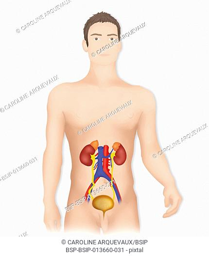 Drawing male urinary system Stock Photos and Images | age