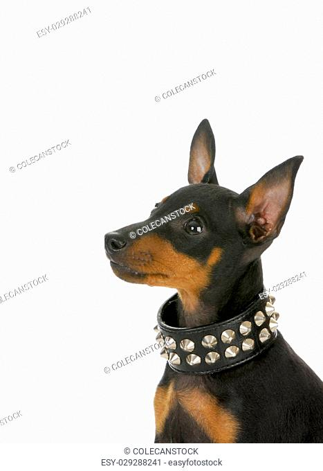 manchester terrier puppy wearing leather studded collar looking up on white background