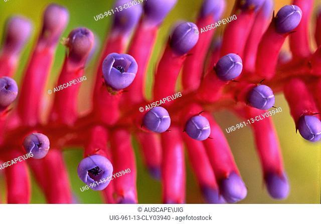 Matchstick bromeliad