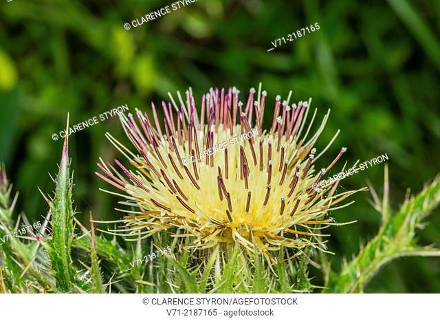 Virginia Thistle (Carduus virgianus)