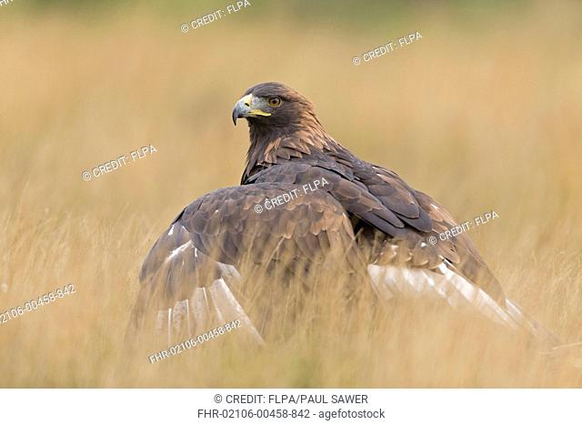 Golden Eagle (Aquila chrysaetos) juvenile, mantling prey, standing in rough grassland, September (captive)