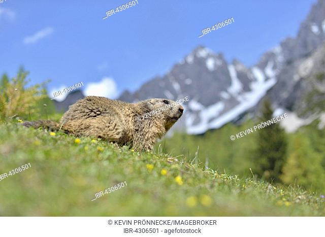 Alpine marmot (Marmota marmota) on alpine meadow, mountain scenery, Dachstein Salzkammergut, Austria