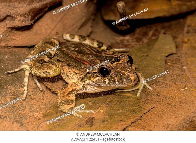 A Leptodactylus species of frog in the Cordillera Escalera of the Amazon Rainforest near Tarapoto, Peru