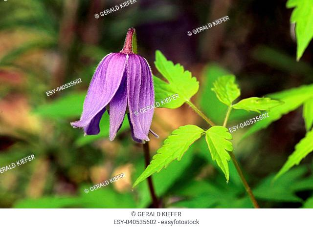 young violet-blue blossom of the climbing plant clematis viticella