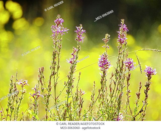 Fireweed against a background of tickseed, Pennsylvania, USA