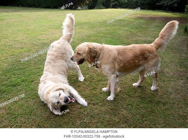 Domestic Dog, Golden Retriever, two adult females, dominance interaction, playing on garden lawn, England, august