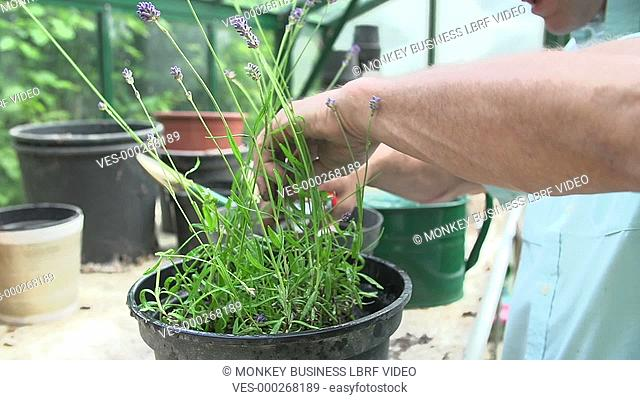 Middle aged man pruning and watering lavender plant in greenhouse. Shot on Sony FS700 in PAL format at a frame rate of 25fps