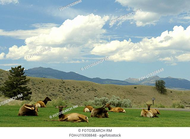 Yellowstone National Park, WY, Wyoming, Mammoth Hot Springs, Elk herd