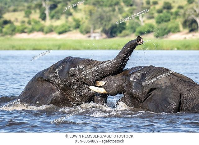 Two elephants engage in play in the Chobe River. Chobe National Park - Botswana
