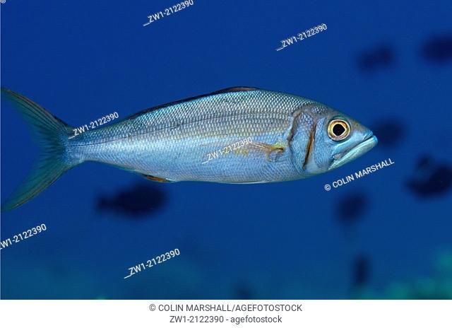 Smalltooth Jobfish (Aphareus furca) at Nyata North Wall dive site off Nyata Island near Alor in eastern Indonesia