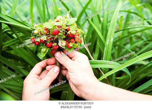 Close up of hands holding strawberry buds