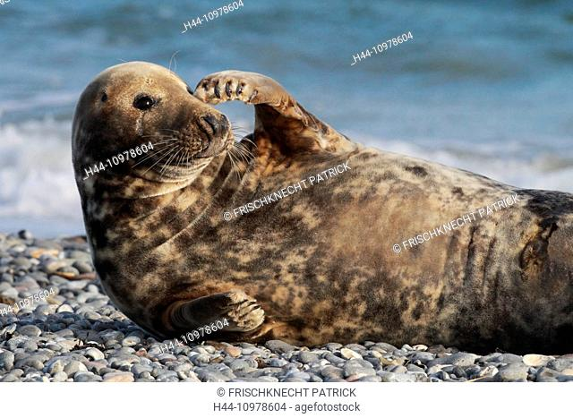 Germany, Europe, fin, greeting, Halichoerus grypus, Helgoland, dune, island, isle, grey seal, coast, sea, marine mammal, nature, North Sea, portrait, seal