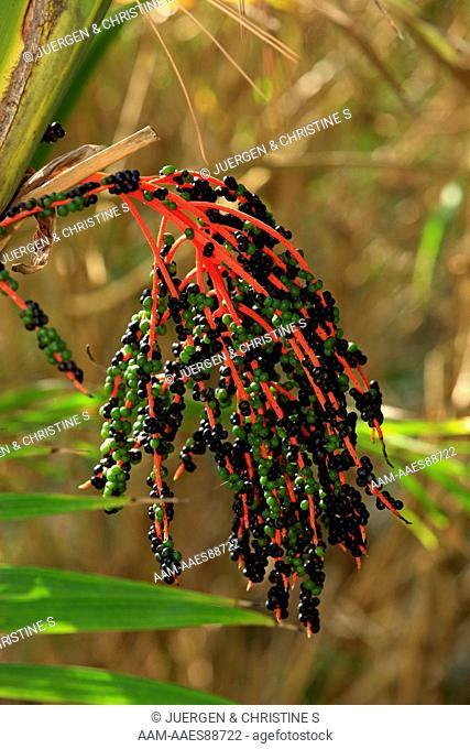 Cycad fruits (Cycas apoa) New Guinea