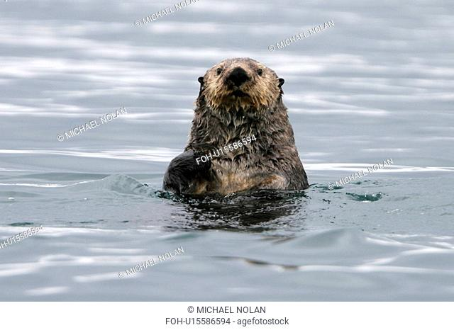 Adult sea otter Enhydra lutris kenyoni off Boulder Island in Glacier Bay National Park, south eastern Alaska, USA. Pacific Ocean