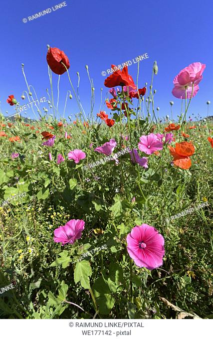 Blooming summer meadow with poppy, Germerode, Werra-Meissner district, Hesse, Germany