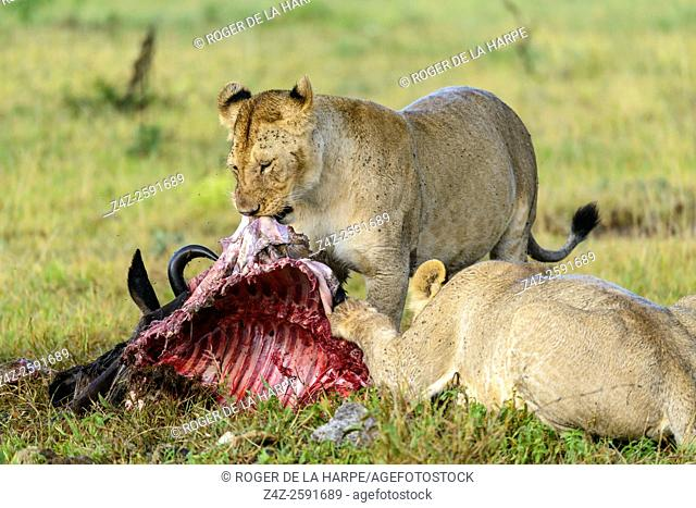 Lion (Panthera leo) feeding on a blue wildebeest or common wildebeest, white-bearded wildebeest or brindled gnu (Connochaetes taurinus)