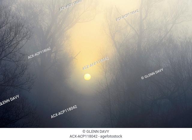 Sunrises through autumn heavy mist and between trees. Near Waterloo, Ontario, Canada