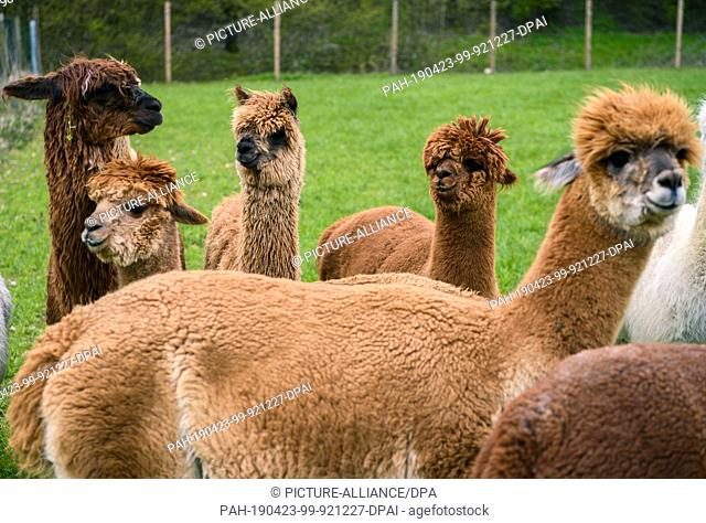 "14 April 2019, Lower Saxony, Drantum: Alpacas stand in a meadow. On their farm """"Herzog-Alpakas"""" a family offers photo shoots and wool products as well as..."