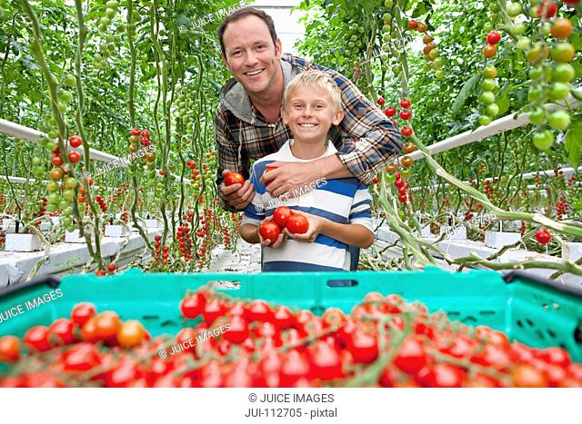 Portrait smiling father and son harvesting ripe red vine tomatoes in greenhouse