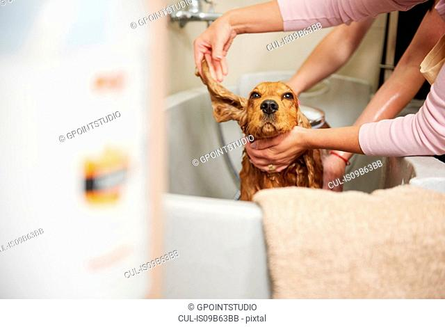Female groomers showering cocker spaniel in bath at dog grooming salon