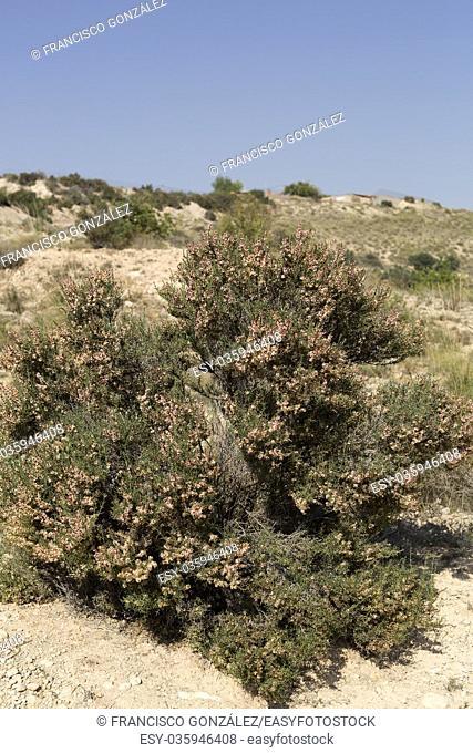 Shrub in the municipal term of Elche, province of Alicante in Spain