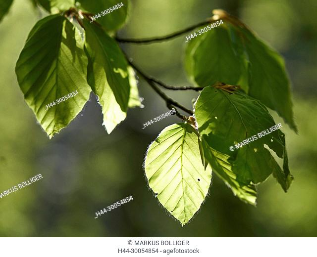 Wood, mountain wood, sheet, foliage sheet, beech, Fagus sylvatica, spring, foliage tree, hardwood, vein, vein, Fiederaderung