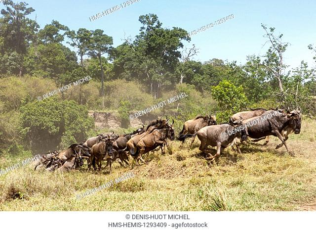 Kenya, Masai Mara national reserve, wildebeest (Connochaetes taurinus), Migration, crossing the Talek river