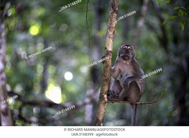 Thailand, Surat Thani, Khao Sok National Park, macaque monkey