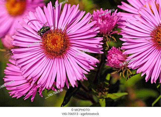 Neuenglandaster (Aster novae-angliae) New England Aster + Ostalbkreis, Baden Wuerttemberg, Deutschland, Germany - Huettlingen, Baden-Wuerttemberg / Ostalbkreis
