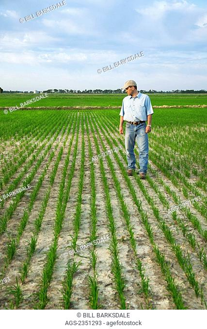 Agriculture - A crop consultant walks through a field inspecting the progress of an early growth rice crop / Arkansas, USA