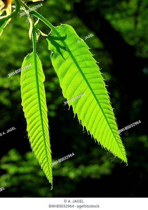 Spanish chestnut, sweet chestnut (Castanea sativa), young leaves in backlight